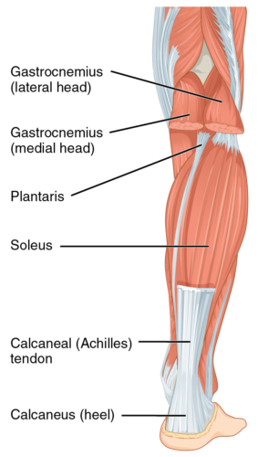 This picture demonstrates the Achilles attachment to the calcaneus.