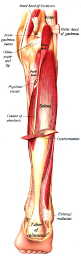 This picture demonstrates the gastrocnemius and the soleus
