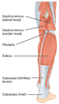 1123_Muscles_of_the_Leg_that_Move_the_Foot_and_Toes_b