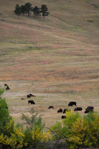 The southern part of Custer State Park teems with bison.