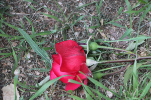 A rose was placed at the corner where Brynn was killed.