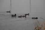 Mallard ducks on the Jordan River. Photo by Dave Iltis